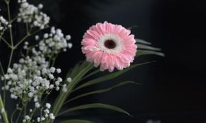 白色小花与粉红色的非洲菊高清图片