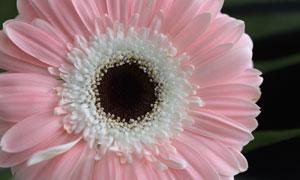 一朵粉红色非洲菊特写摄影高清图片