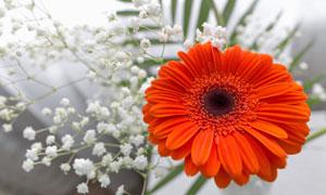 小花与鲜艳红色非洲菊摄影高清图片