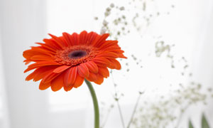 一枝独秀的红色非洲菊摄影高清图片