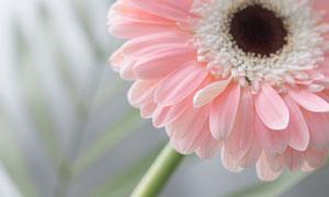 粉色的非洲菊微距特写摄影高清图片