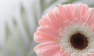 粉红色非洲菊近景特写摄影高清图片