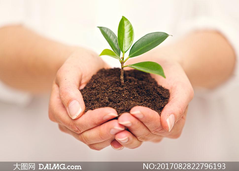 用双手捧着的绿叶幼苗摄影高清图片