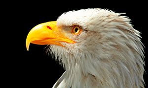黄色鸟喙的白头雕特写摄影高清图片