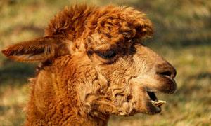 一只张着嘴的骆驼特写摄影高清图片