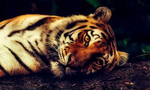 躺着地上的大老虎特写摄影高清图片