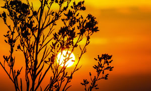 树枝映衬下的黄昏夕阳摄影高清图片