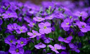 紫颜色的花卉植物特写摄影高清图片