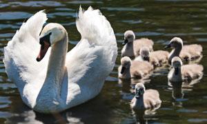 带领一群小鸭下水的鹅妈妈高清图片