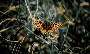 草丛中的一只蝴蝶特写摄影高清图片