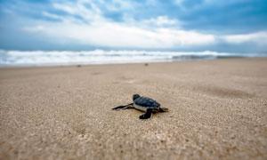 一步步往海里爬的海龟摄影高清图片