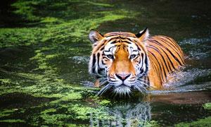 半个身子在水里的老虎摄影高清图片