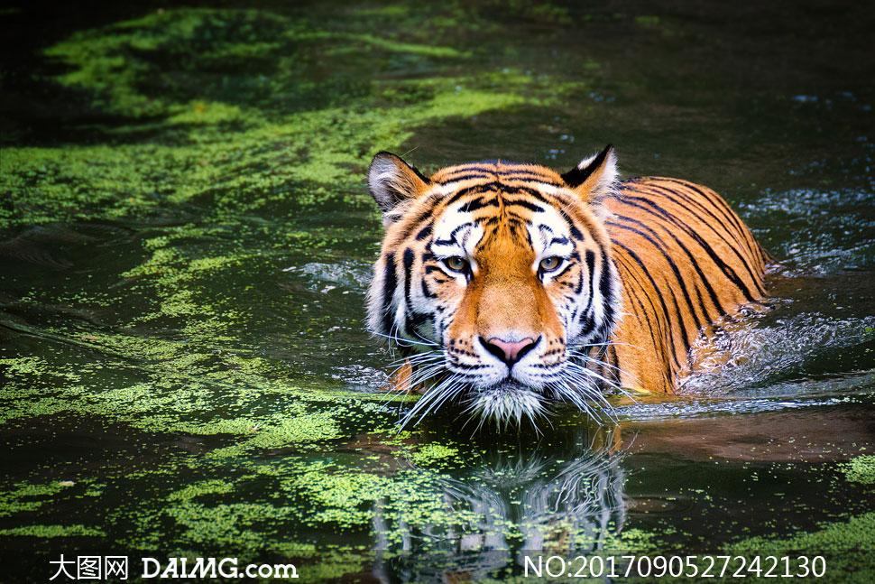 关 键 词: 高清图片大图素材摄影动物老虎猛兽浮萍游水蹚水水面 注意