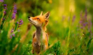 草丛中看着什么的狐狸摄影高清图片