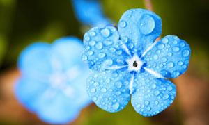 表面有水珠的蓝色花卉摄影高清图片