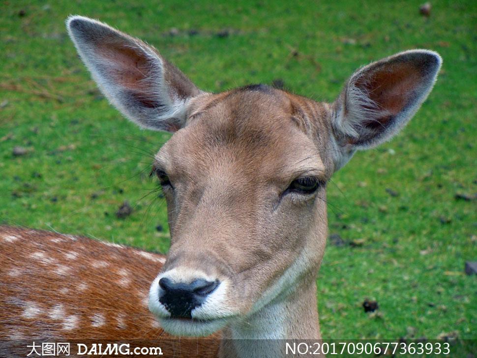 在草地上竖起耳朵的梅花鹿高清图片