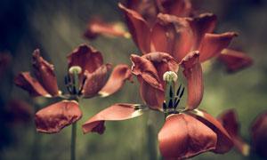 红色枯萎的郁金香花卉植物高清图片