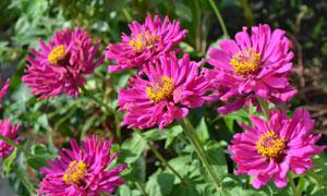 鲜艳粉红色的花卉植物摄影高清图片