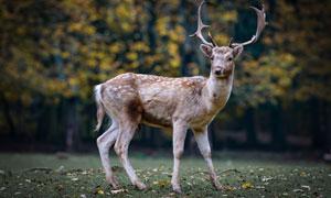 树林边草地上的梅花鹿摄影高清图片