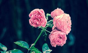 粉红色的花朵近景特写摄影高清图片