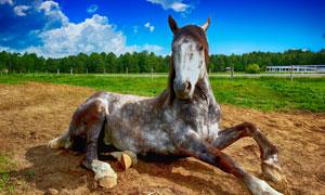 在荒地上卧着的一匹马摄影高清图片