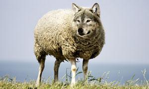 草地上的一只披着羊皮的狼创意图片