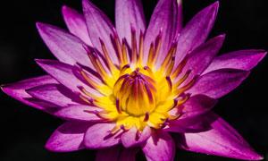 盛开着的紫色鲜花特写摄影高清图片