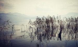 洱海湖中美丽的芦苇摄影图片