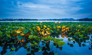 西湖荷花美丽景观摄影图片