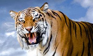 站在石头上的一只老虎摄影高清图片