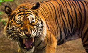 张着嘴眼露出凶光的大老虎高清图片