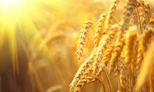 地里成熟的小麦穗特写摄影高清图片