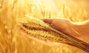 拿在手里的一把小麦穗特写高清图片