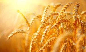 颗粒饱满的小麦穗特写摄影高清图片