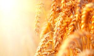 阳光照耀下的麦穗微距摄影高清图片
