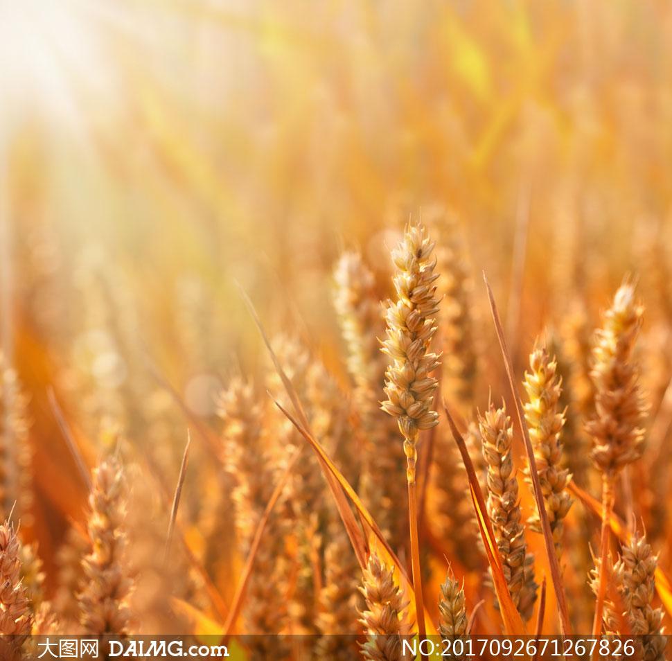 风景 > 素材信息                          阳光照耀下的麦穗微距