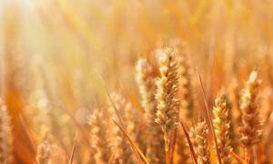 在庄稼地里的小麦微距摄影高清图片