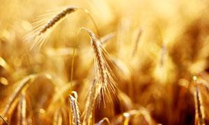 庄稼地里成熟的小麦穗特写高清图片