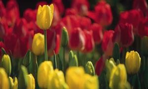 黄色的郁金香花卉植物摄影高清图片