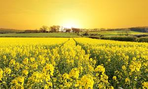 树木与油菜花植物风光摄影五百万彩票图片