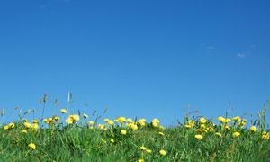 草丛中的黄色菊花风光摄影高清图片
