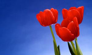 春天怒放着的郁金香花特写高清图片