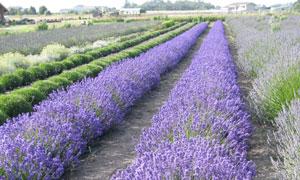 长势良好的薰衣草植物摄影高清图片