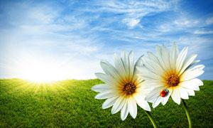 蓝天白云与盛开的花朵摄影高清图片
