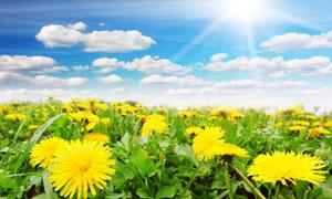黄花与空中的朵朵白云摄影高清图片