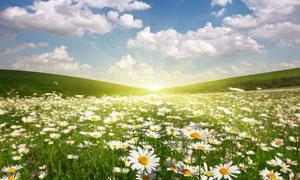 菊花与白云朵朵的天空摄影高清图片