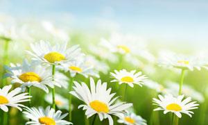 白色菊花植物微距特写摄影高清图片