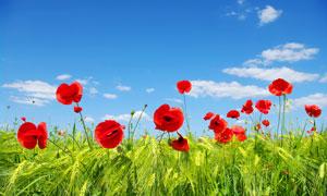 麦田中的红色花卉植物摄影高清图片