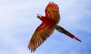 在空中翱翔的金刚鹦鹉摄影高清图片