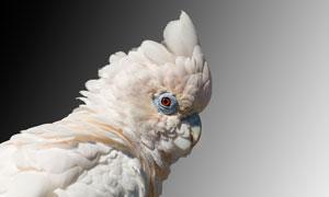 转动着眼睛的鹦鹉特写摄影高清图片